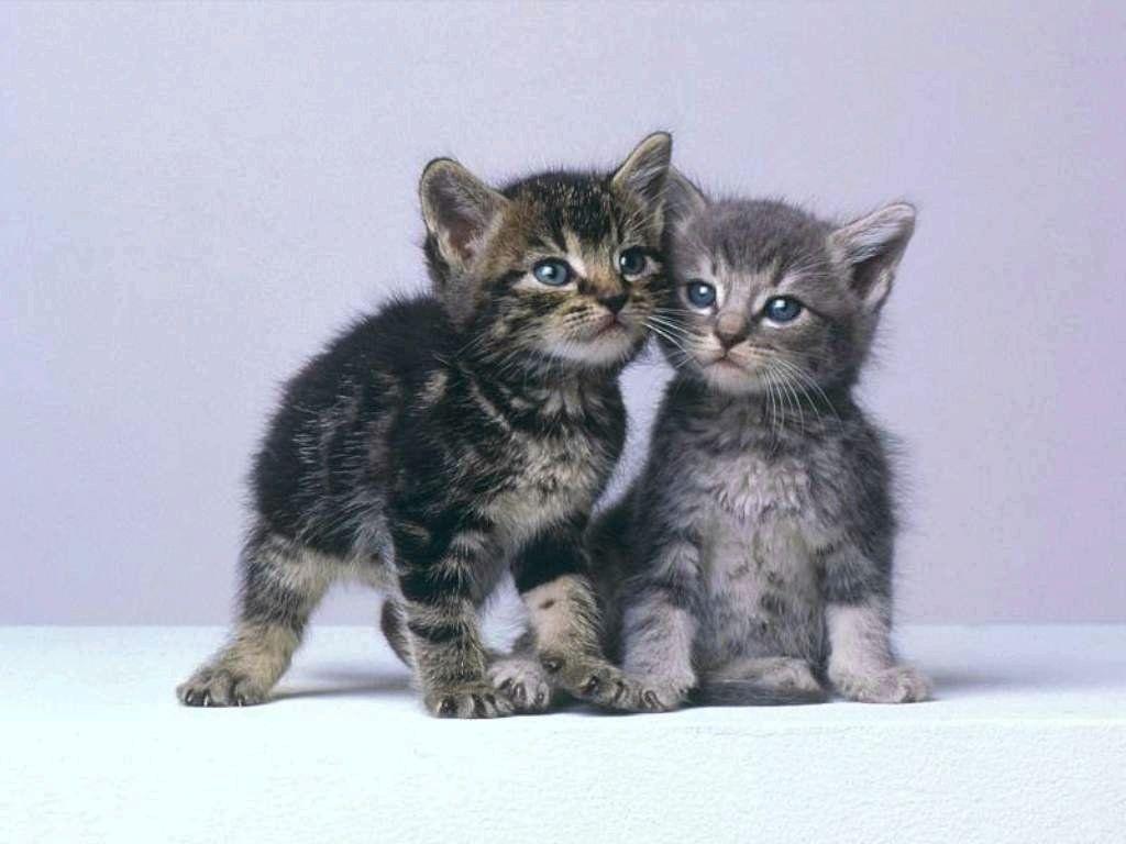 chaton gris avec des yeux bleu